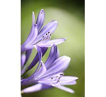 Purple flowers 7079 Photographic Print