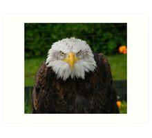 Bald Headed Eagle Art Print