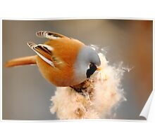 Bearded Tit Poster