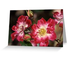 flower-cream-pink-red-roses Greeting Card