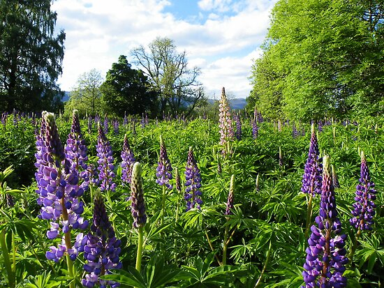 The Cairngorms: Lupins Galore by Rob Parsons