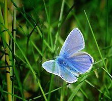 Common Blue Butterfly by M G  Pettett