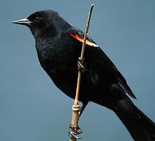 Red Winged Blackbird by CBoyle