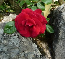 Rose between the stones by PhilippaJ