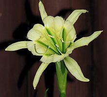 Ismene - Sulphur Queen (Peruvian daffodil) by Sharon Perrett