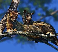 FOSSA Cryptoprocta ferox (NOT A PHOTOGRAPH) PLEASE READ BLURB by DilettantO