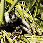 Black & White Ruffed Lemur by Sandra Chung