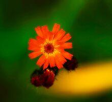 Wildflower by WarrenMangione