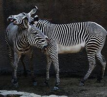 Zebra Encounter by zzsuzsa
