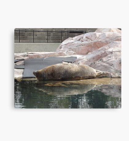 Gray Seal Canvas Print