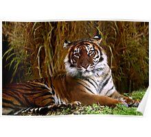 Sumatran Tigress Poster