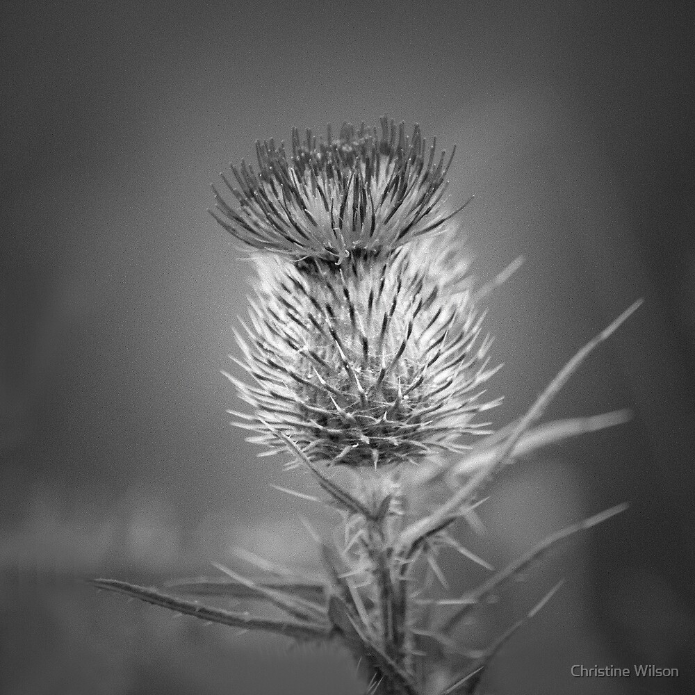 Thistle by Christine  Wilson Photography