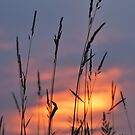 Tall Grass at Sunset by mnkreations