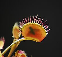 Venus Fly Trap by doubleclix