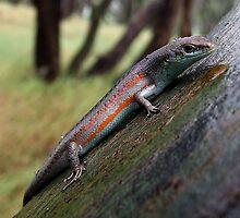 Southern Rainbow Skink by EnviroKey