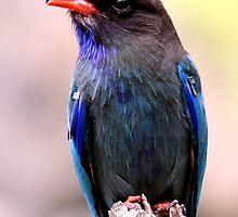 Dollarbird by EnviroKey