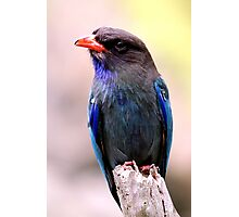 Dollarbird Photographic Print