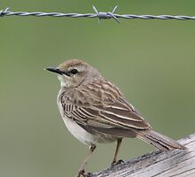 Richard's Pipit by EnviroKey