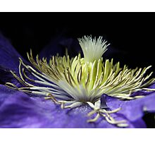 Clematis Crown Photographic Print
