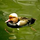 Red-crested Pochard in shallow waters by mamba