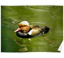 Red-crested Pochard in shallow waters Poster