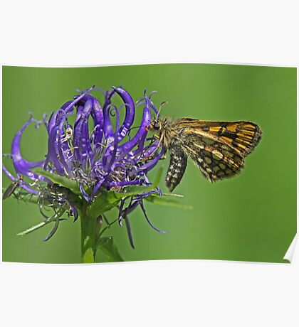 Chequered Skipper butterfly Poster