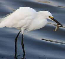 Egret catching a Shrimp by Paulette1021