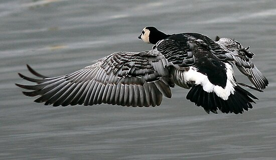The Barnacle Goose by snapdecisions