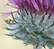 Lady Bug on a Thistle  by Corri Gryting Gutzman