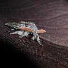 Calliteara pudibunda - Full grown by dshones