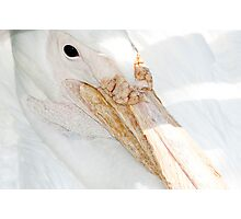 Great White Pelican Photographic Print