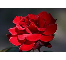 Red Rose 6411 Photographic Print