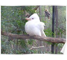 Kookaburra - White form Poster