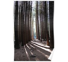 Sugar Pine Walk Poster