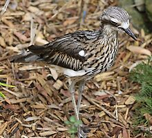 Bush Stone Curlew by EnviroKey
