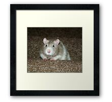 No, I'm not a hamster but a fancy rat! Framed Print