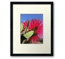 Crimson Bottlebrush Framed Print