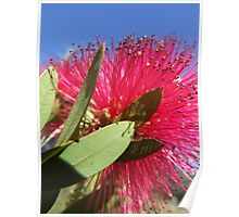 Crimson Bottlebrush Poster