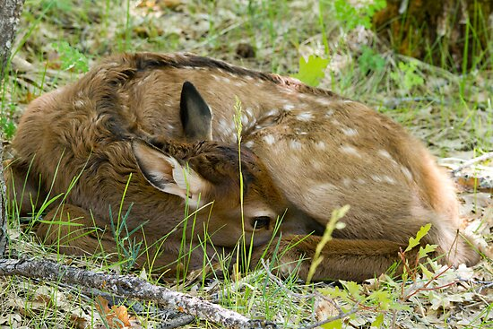 Elk Calf by Chris Heising