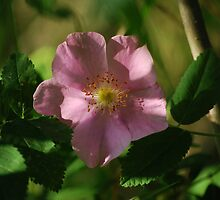 Rose Shadows - Wildflowers of Alberta by Roxanne Persson