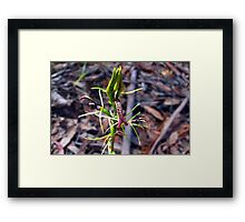 Small Tongue Orchid Framed Print