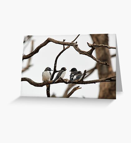 White-breasted Woodswallow Greeting Card