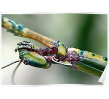 Goliath Stick Insect Poster