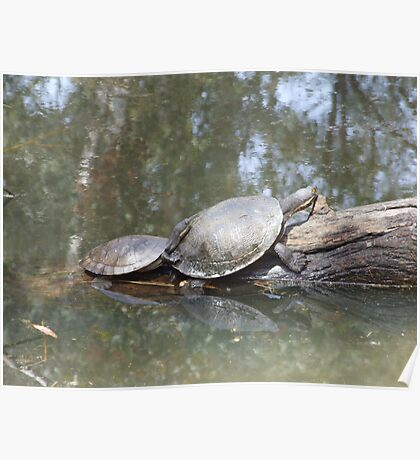 Macquarie Turtle Poster