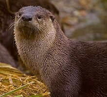 Otter  #3553 by JL Woody Wooden