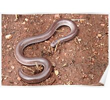 Dark-spined Blind Snake Poster