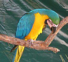 Yellow & Blue Macaw. by Maureen Dodd