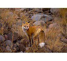 Red Fox Vixen   #3258 Photographic Print