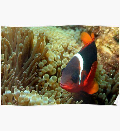 Black Anemone Fish Poster