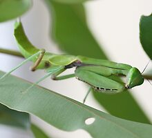 Giant Green Mantid by EnviroKey